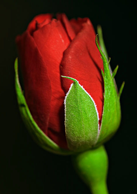 39531401.9W7F3NGv.6EET9042_web_red_rose.jpg