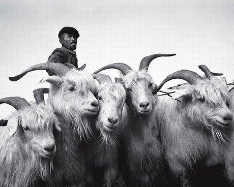 460_china_goats.jpg