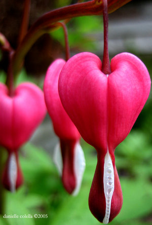 Bleeding_heart_by_Moonbeam13.jpg