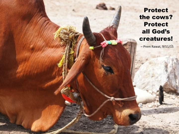 Cow 16.jpg