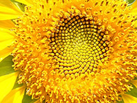 sunflower200x150.jpg